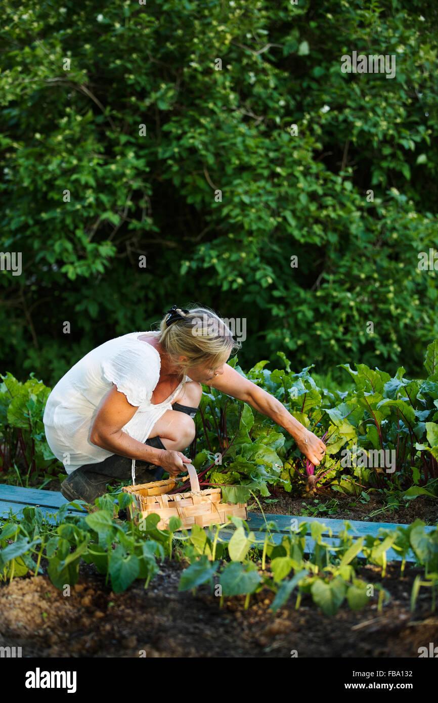 Suecia, Ostergotland, mujer madura, la recolección de frutas Foto de stock