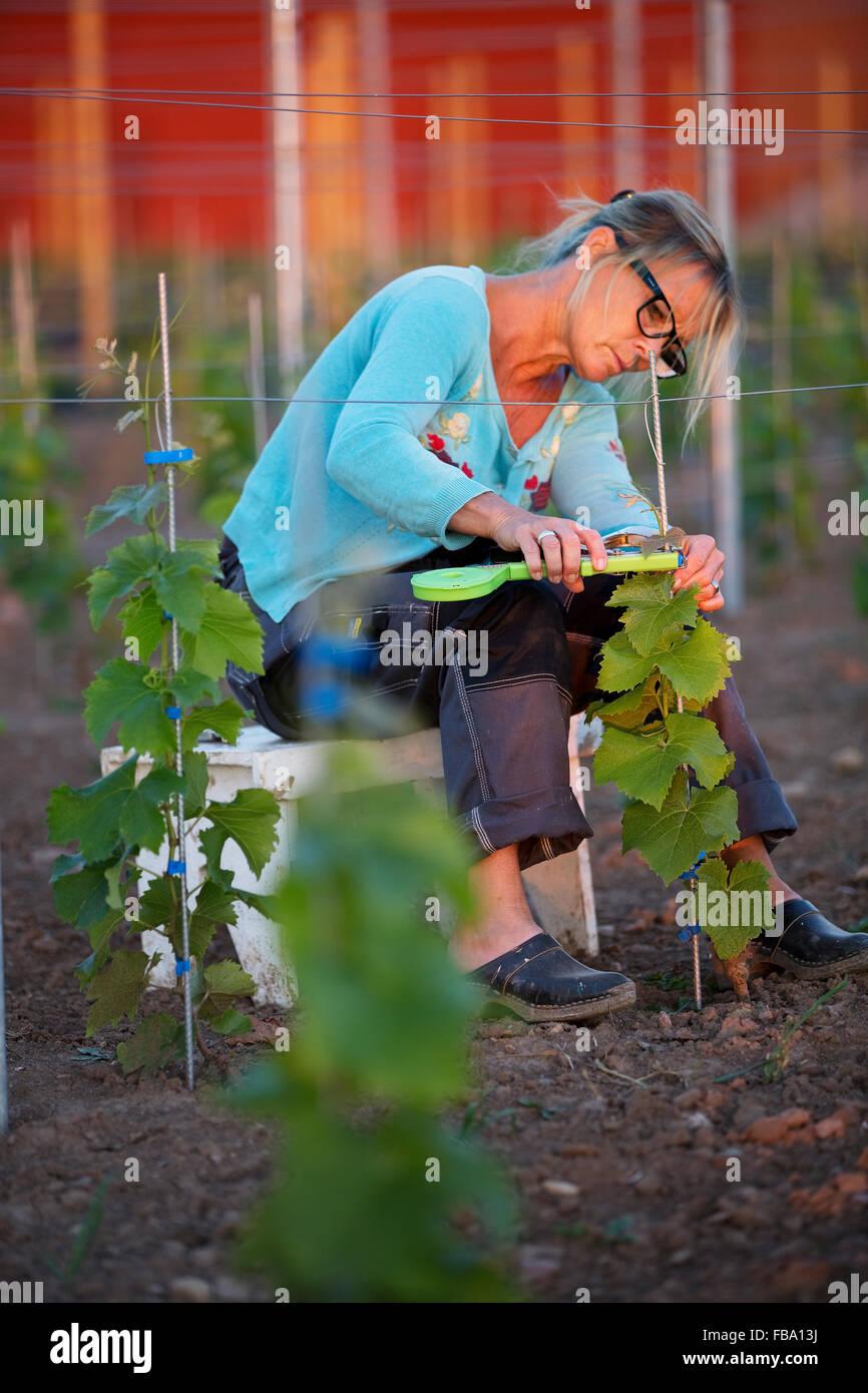Suecia, Ostergotland, mujer madura que trabajan en la viña Imagen De Stock