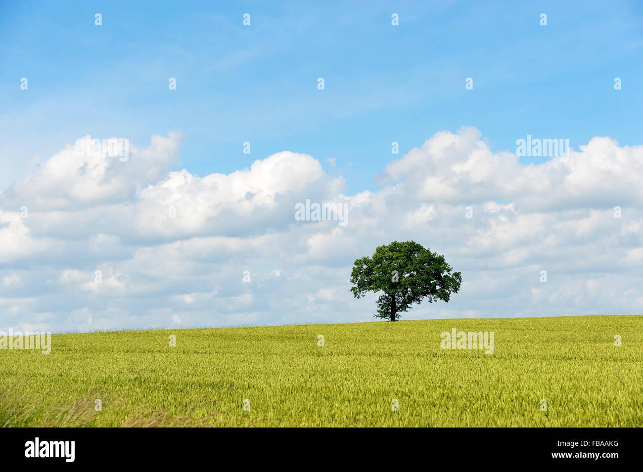 Dinamarca, Fionia, único árbol en el campo Imagen De Stock