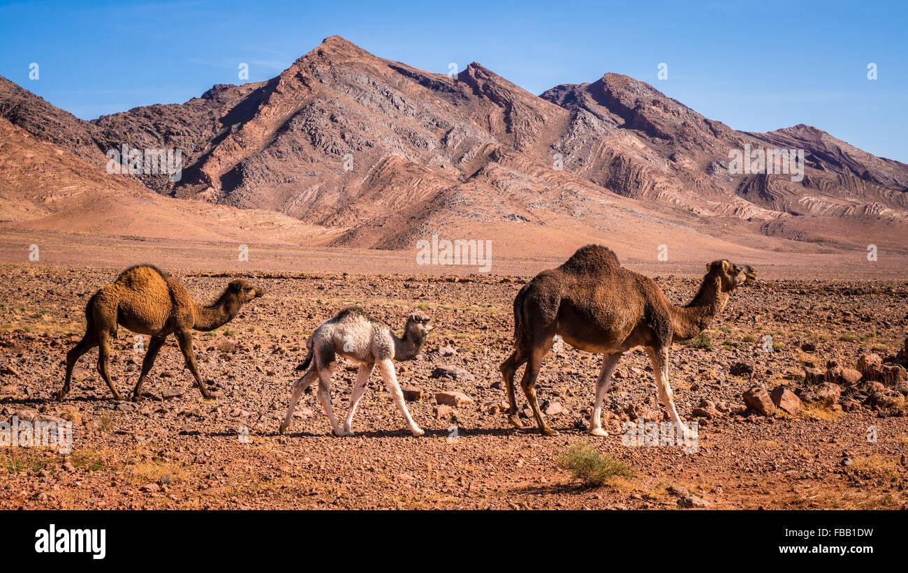 Bebé camellos siguiente madre, Marruecos Imagen De Stock