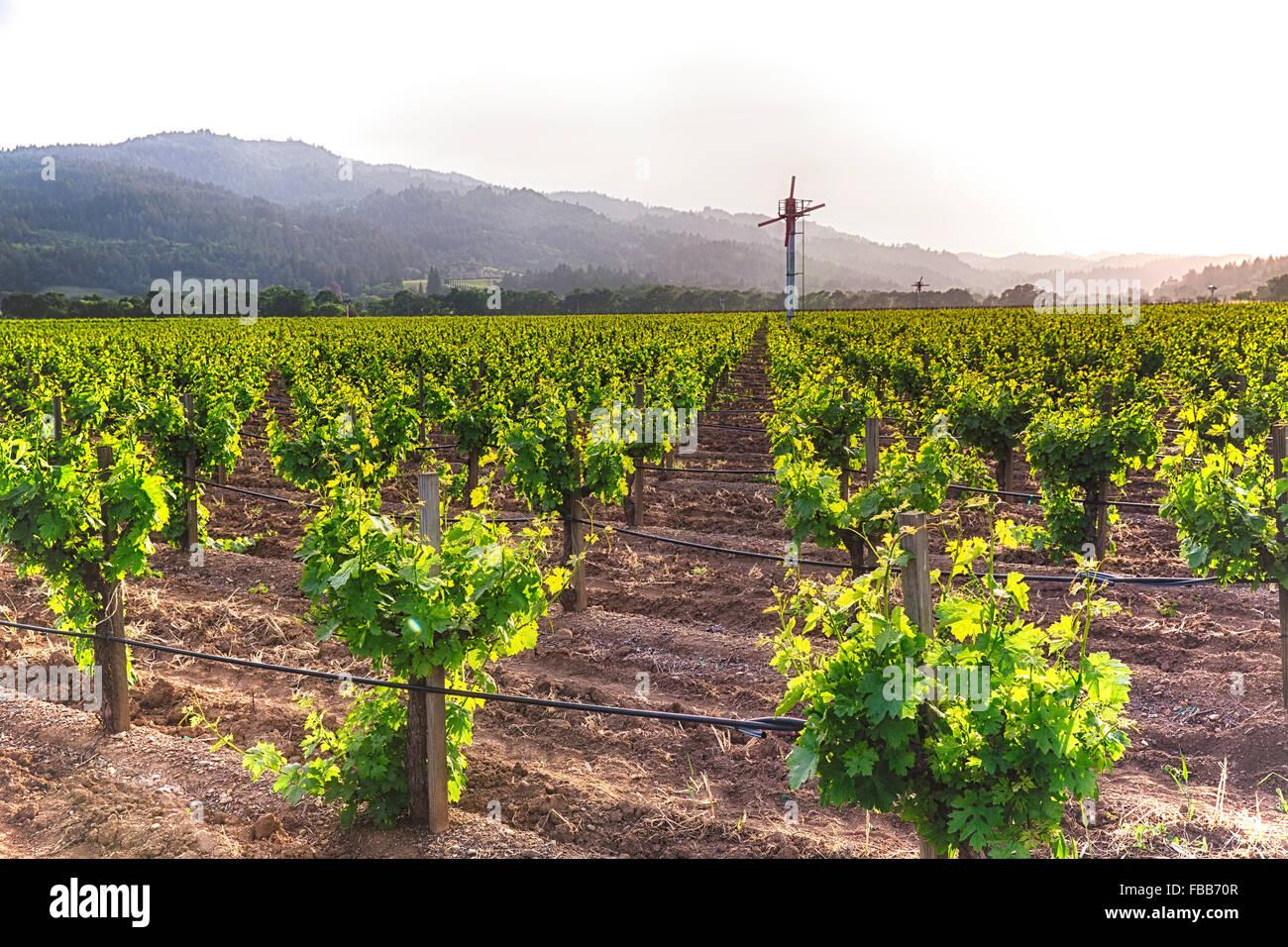 Fila de Grapevine con riego por goteo y de machine de viento del Valle de Napa, California Imagen De Stock
