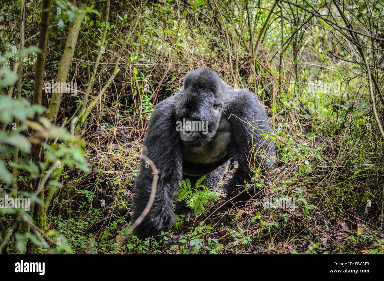 Silverback, el gorila de montaña, el Parque Nacional de Mgahinga Gorila, Uganda Imagen De Stock