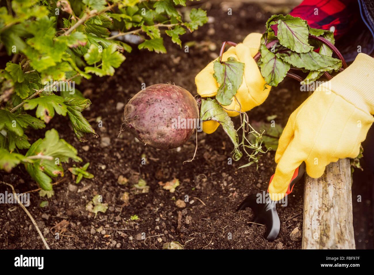 La mano tirando de remolacha del suelo Imagen De Stock