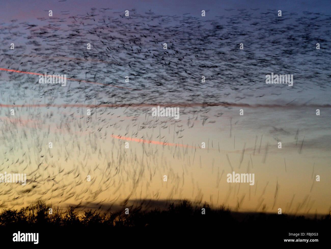 Los estorninos (Sturnus vulgaris) en posados vuelo descendente a roost, movimiento borrosa, Lackford Lakes, cerca de Bury St Edmunds, Suffo Foto de stock
