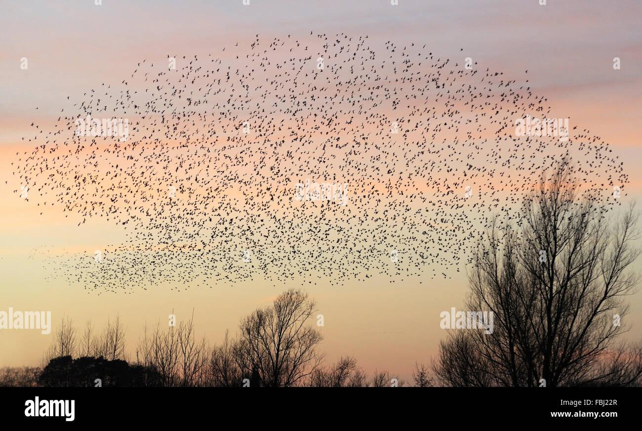 Los estorninos (Sturnus vulgaris) en donde pernoctan formación de vuelo al atardecer, Lackford Lakes, cerca de Bury St Edmunds, Suffolk, Dec 2014 Foto de stock