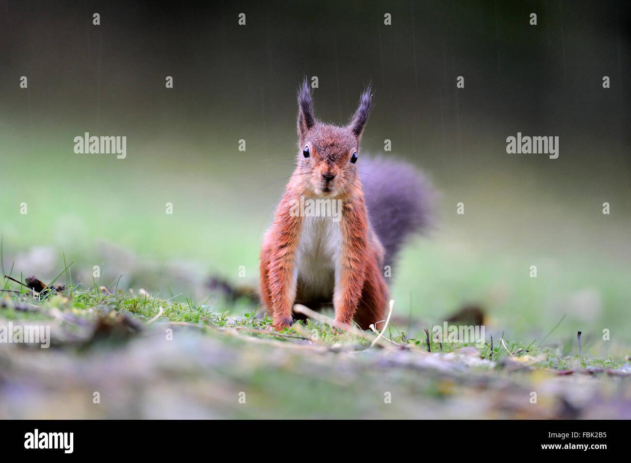 Ardilla roja (Sciurus vulgaris) en ouring lluvia, mirando directamente a la cámara, en el jardín de césped, Imagen De Stock