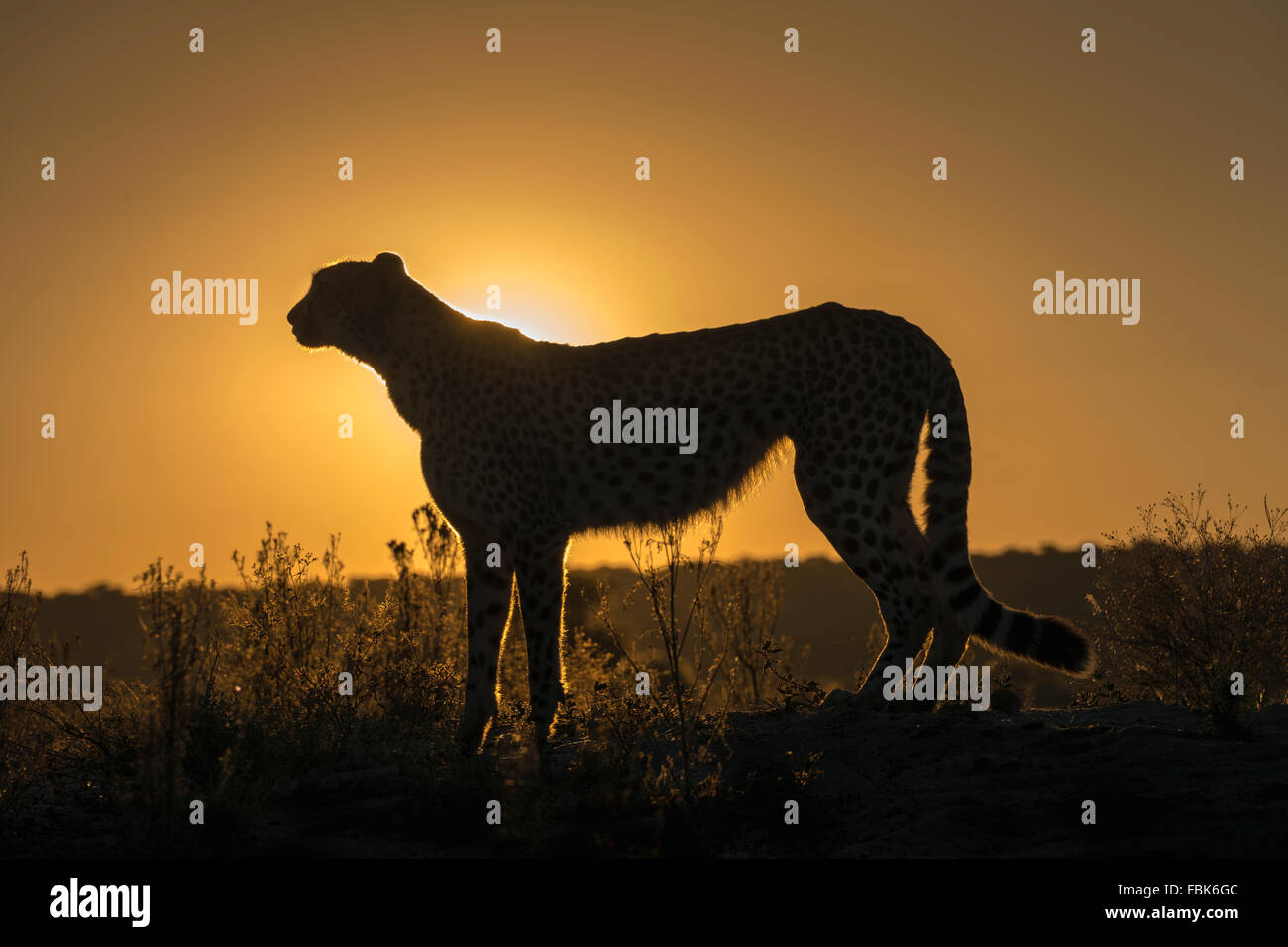 Cheetah siluetas al atardecer, Naankuse, Namibia Imagen De Stock