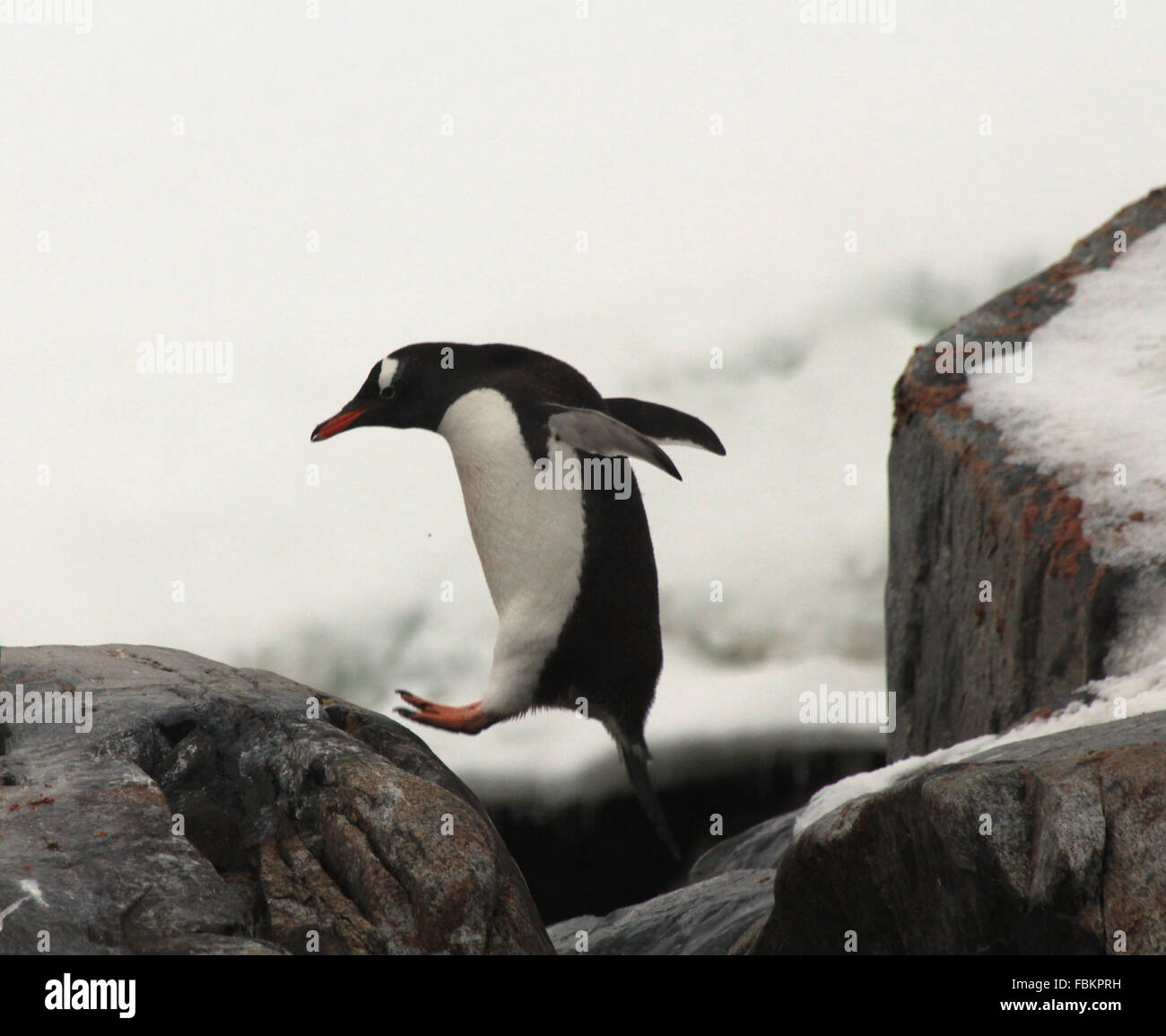 Un pingüino Gentoo saltar de una roca en la Antártida Imagen De Stock