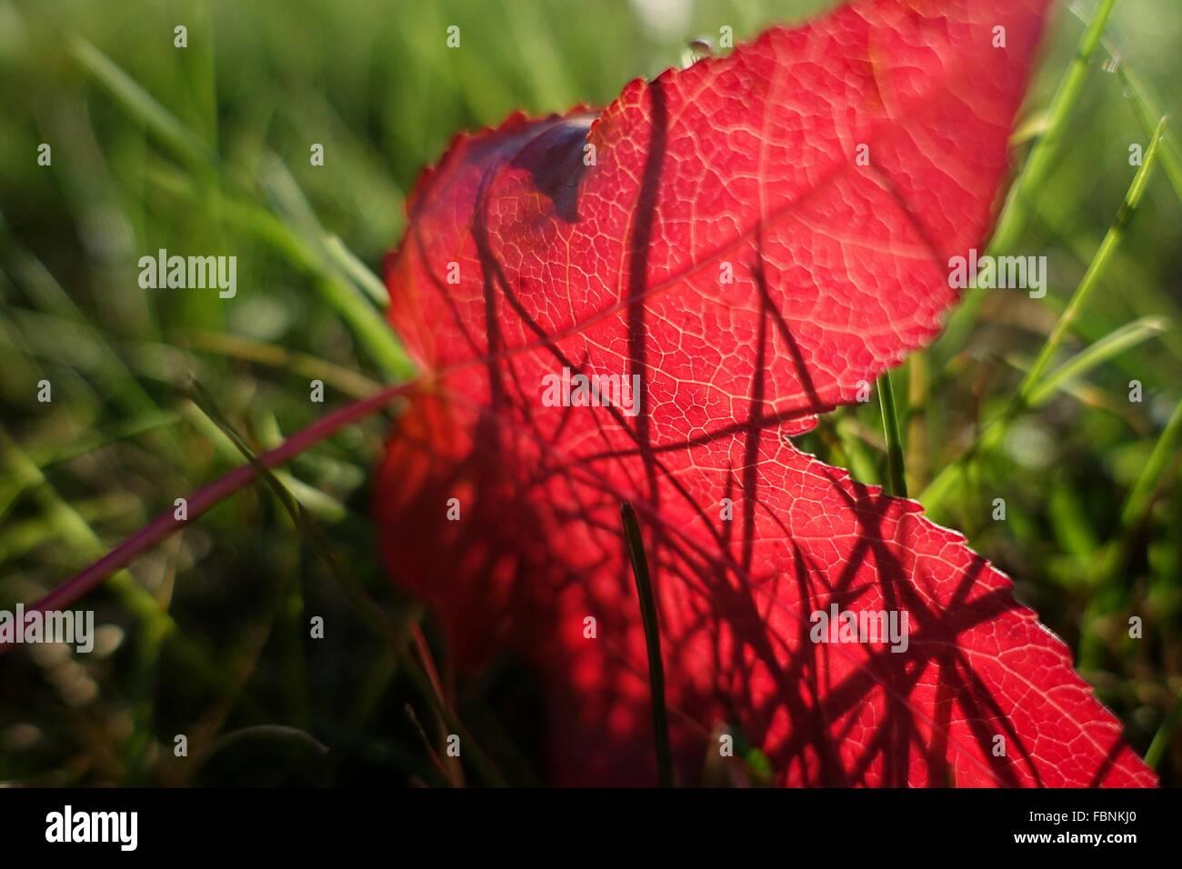 Primer plano de hojas rojas en el prado Imagen De Stock