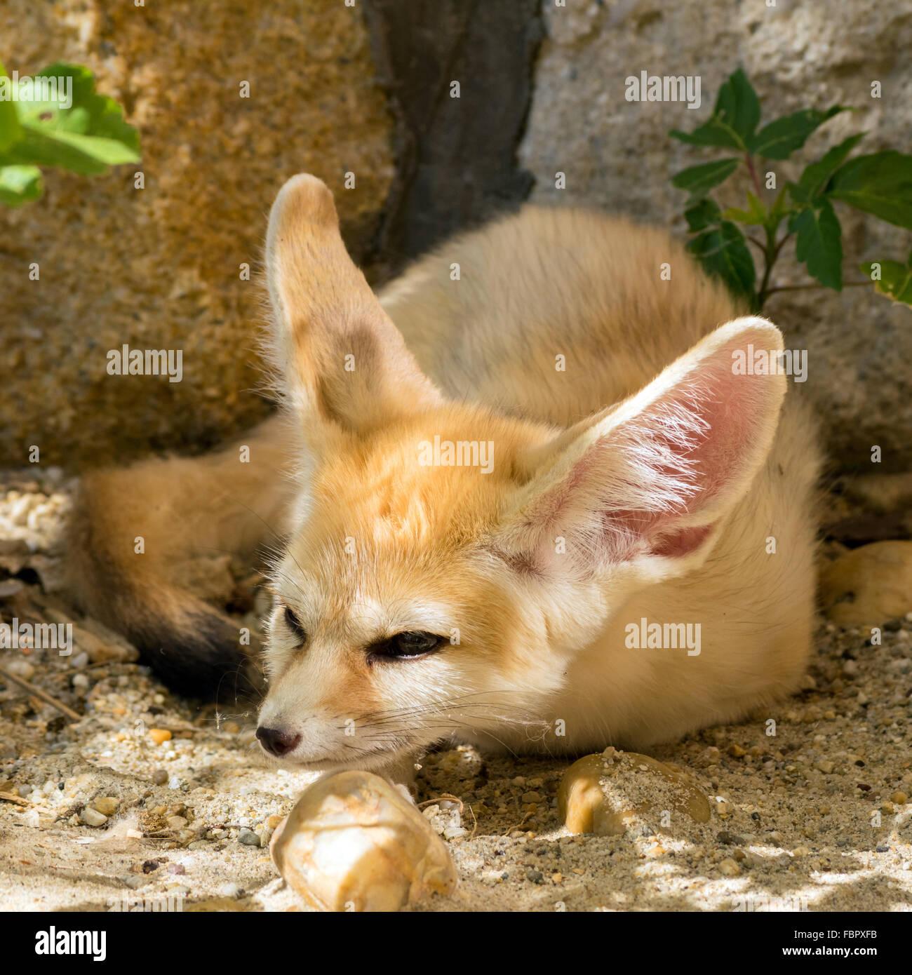Fennec fox (Vulpes zerda) con una astuta sonrisa Imagen De Stock