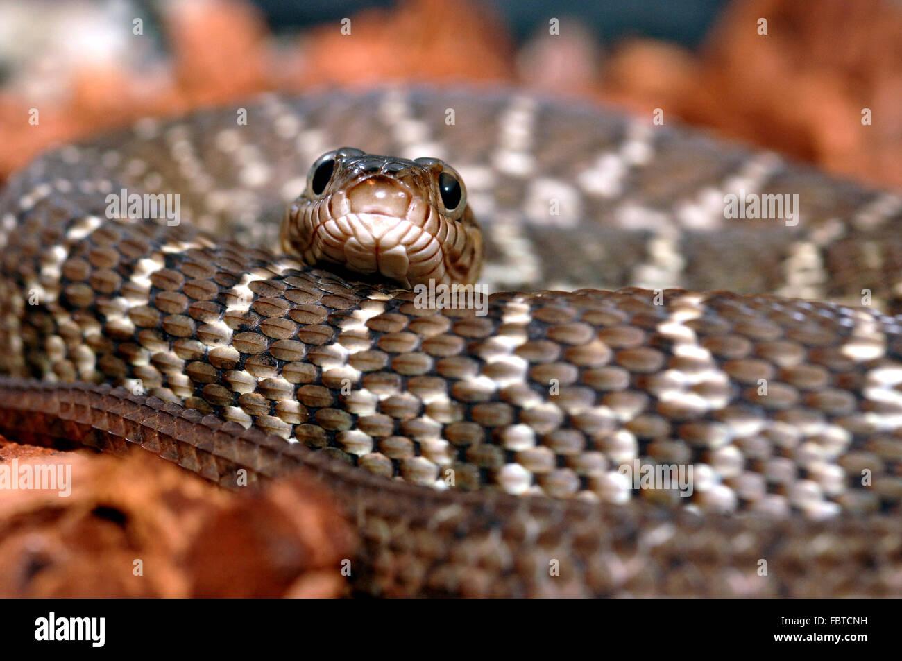 El agua Diamante Snake Imagen De Stock