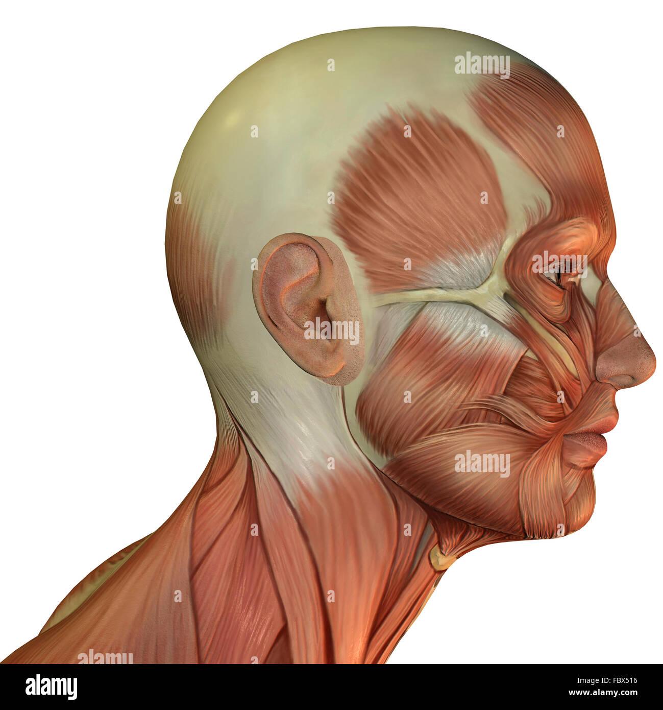 La estructura muscular de la cabeza Imagen De Stock