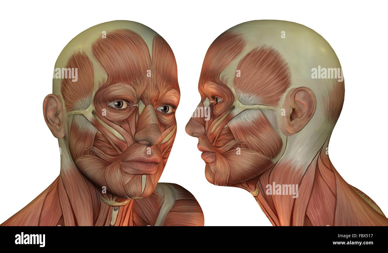 La estructura muscular de la cabeza hombre Imagen De Stock