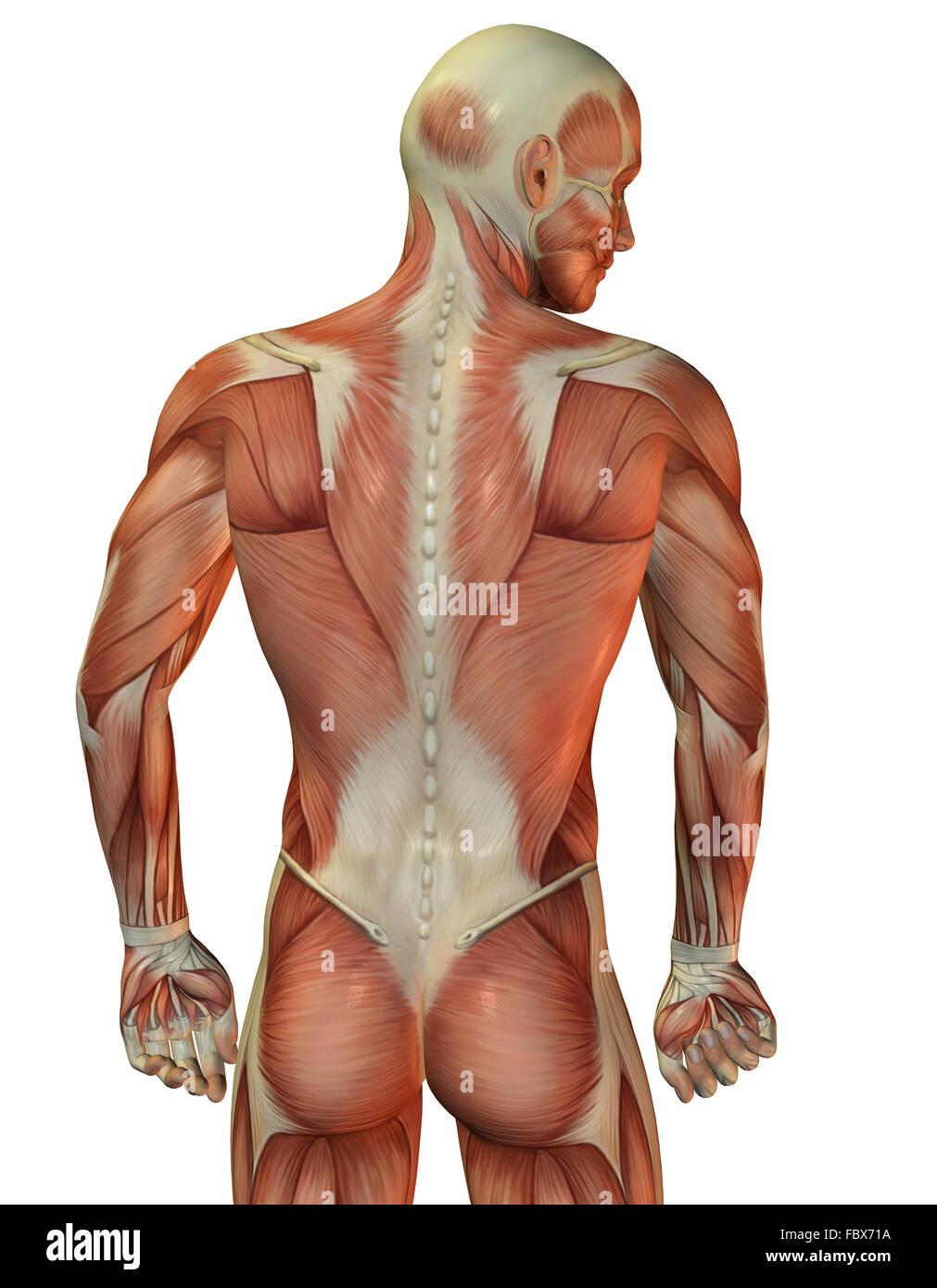 Hombre atrás estructura muscular Imagen De Stock