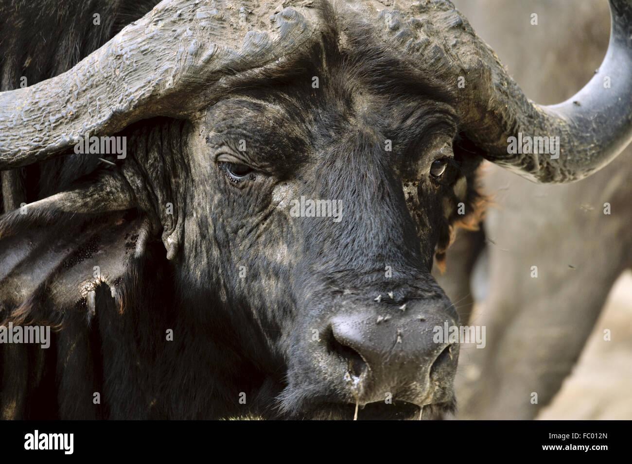 Cerca de Buffalo cara Imagen De Stock