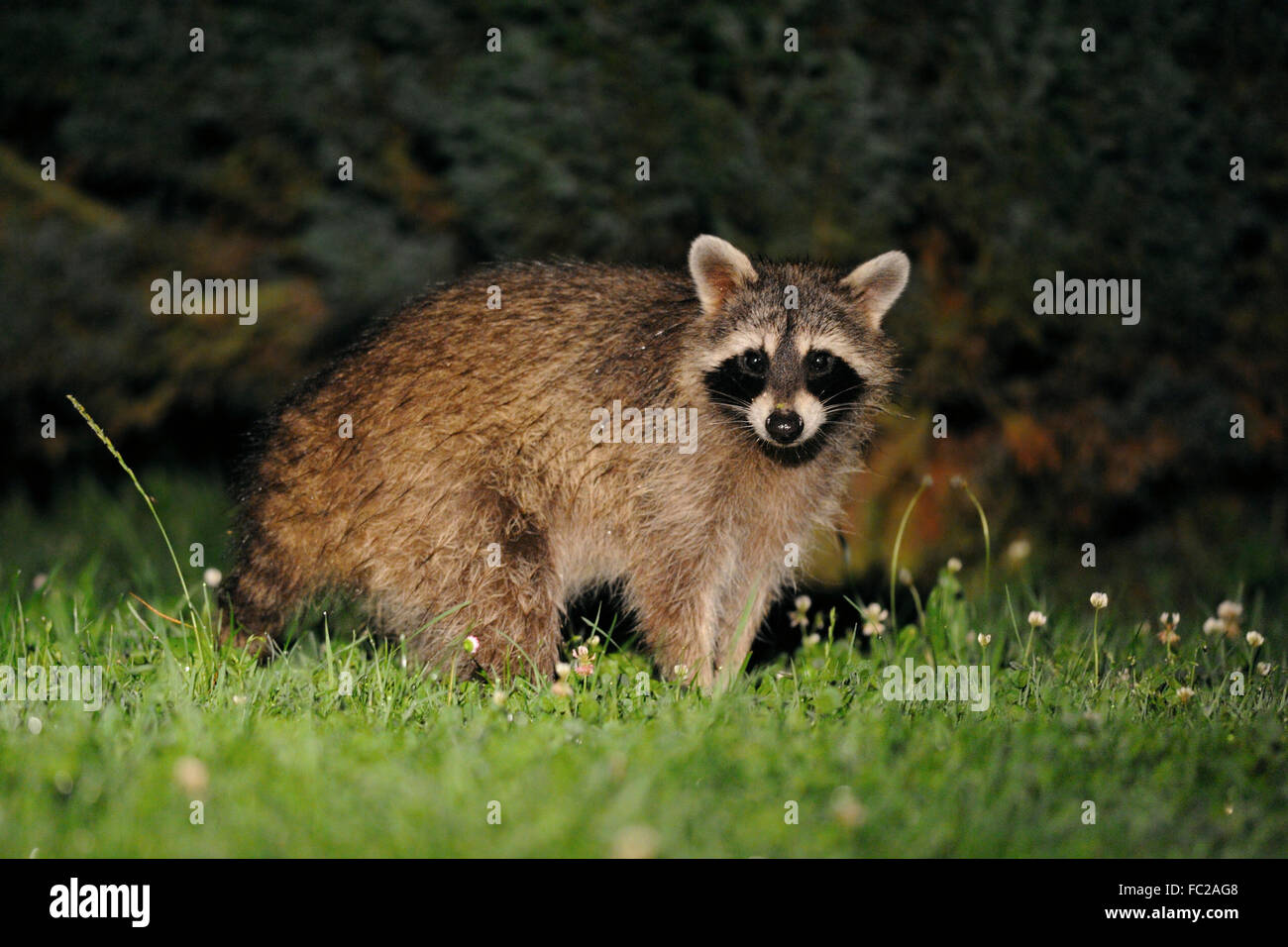 Mapache (Procyon lotor común ) mira sorprendida, se sitúa delante de algunos arbustos, tarde en la noche, Imagen De Stock