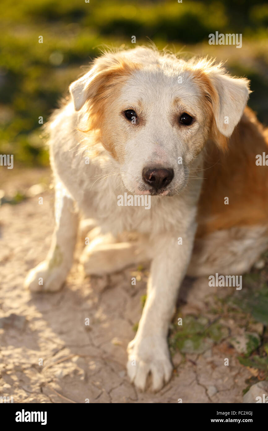 Lástima Jengibre exterior del perro sobre fondo verde Imagen De Stock