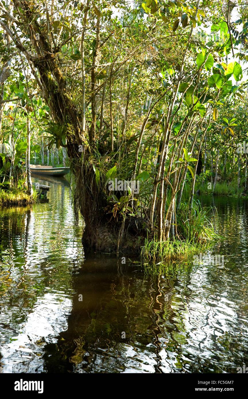 La vegetación que crece en el Río Amazonas en Ecuador Imagen De Stock