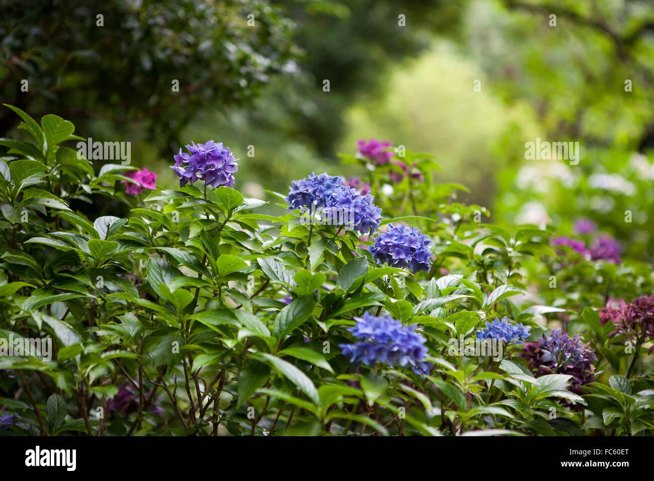 Color Hortensia Flores En El Jardin Foto Imagen De Stock 93559840 - Color-hortensia