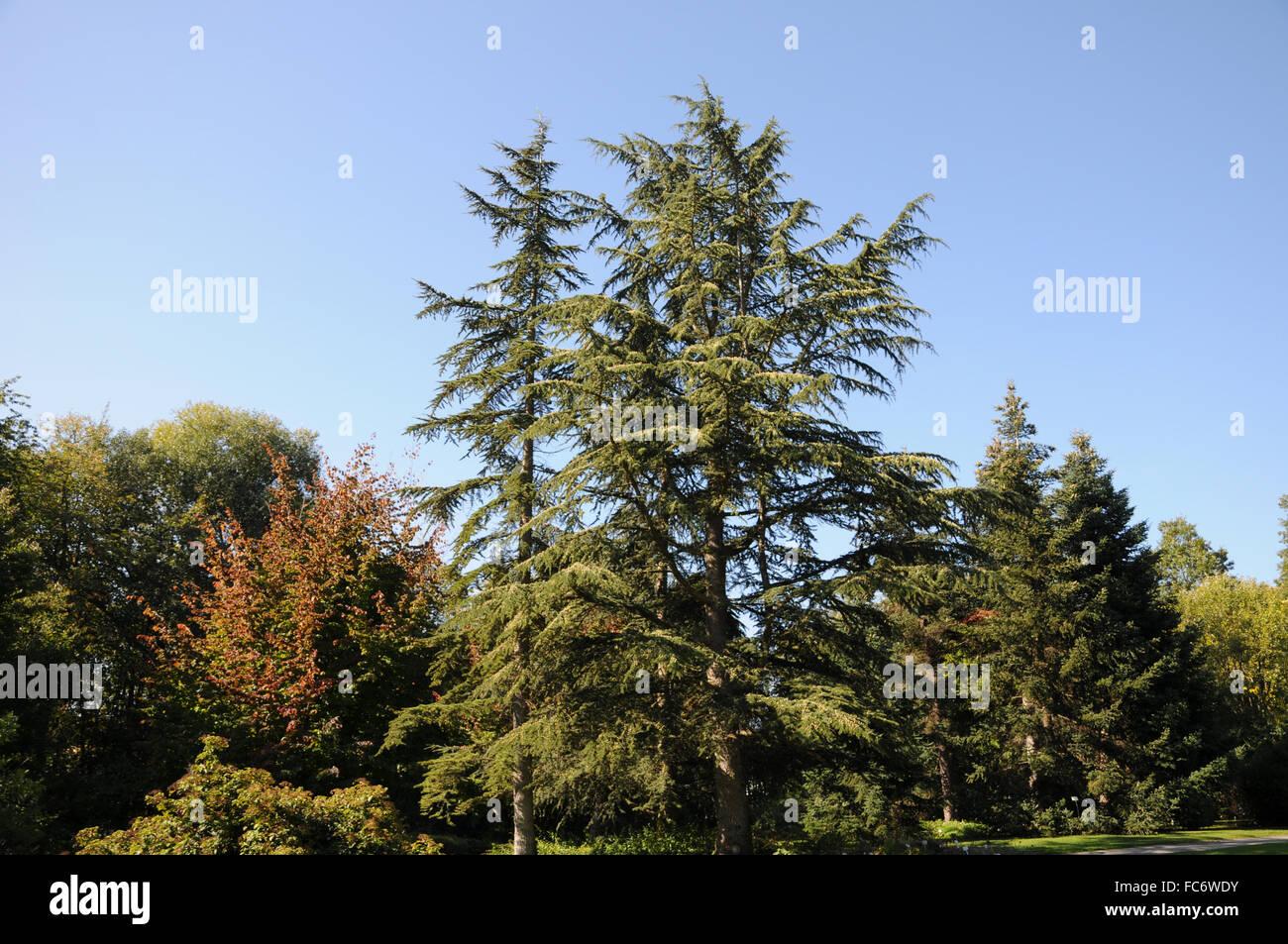 Cedro del Líbano Imagen De Stock