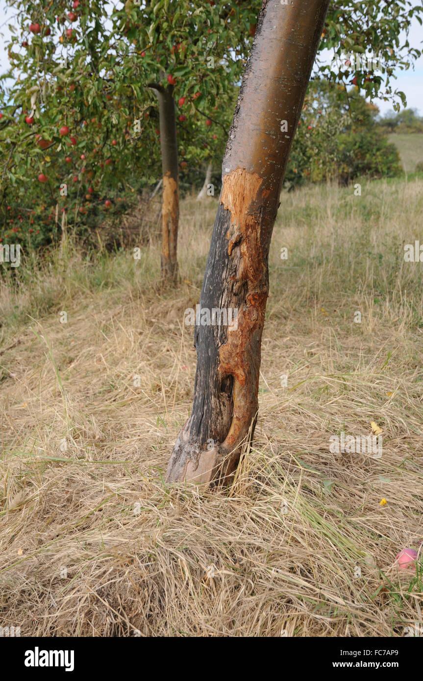 Apple tree, corteza-herido Imagen De Stock