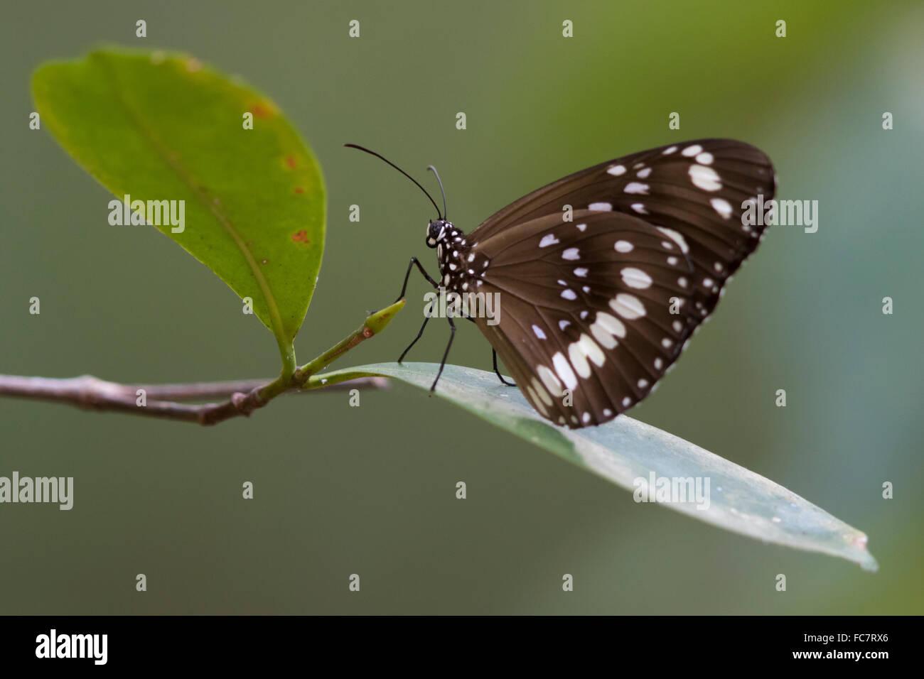 El Cuervo común Butterfly (Euploea core). Imagen De Stock