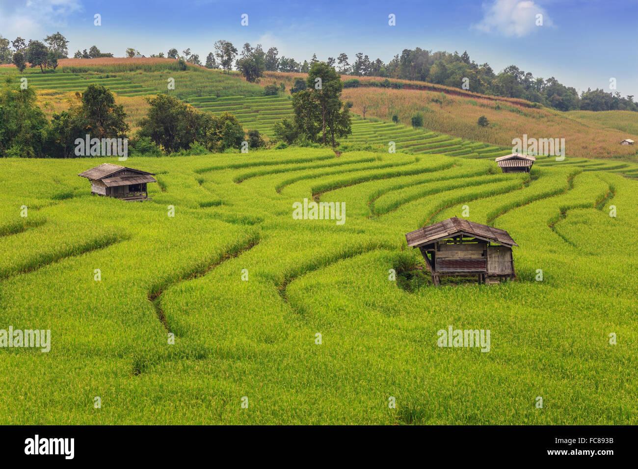 Los campos de arroz en el país de Tailandia Imagen De Stock