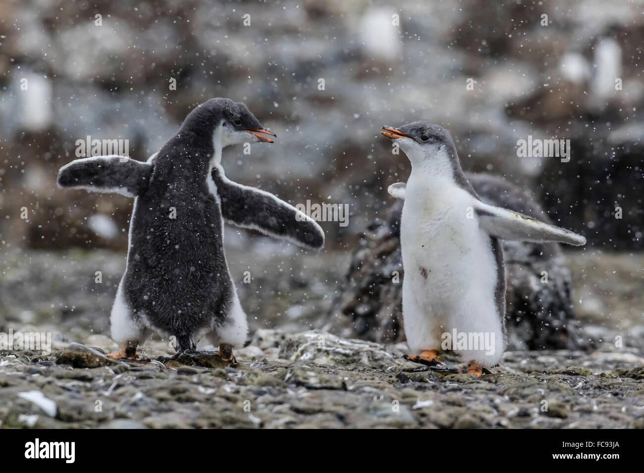 Los polluelos de pingüinos papúa (Pygoscelis papua) en éxtasis mostrar en Brown Bluff, en la Antártida, Imagen De Stock