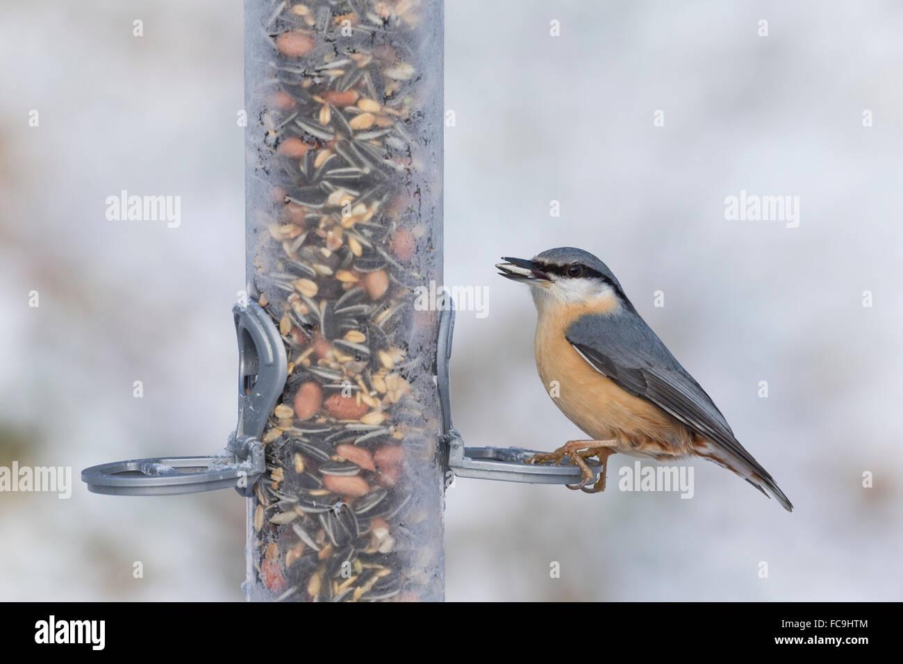 Trepador Azul, pájaro de alimentación, nieve, Kleiber, Spechtmeise, Vogelfütterung, Invierno, Schnee, Imagen De Stock