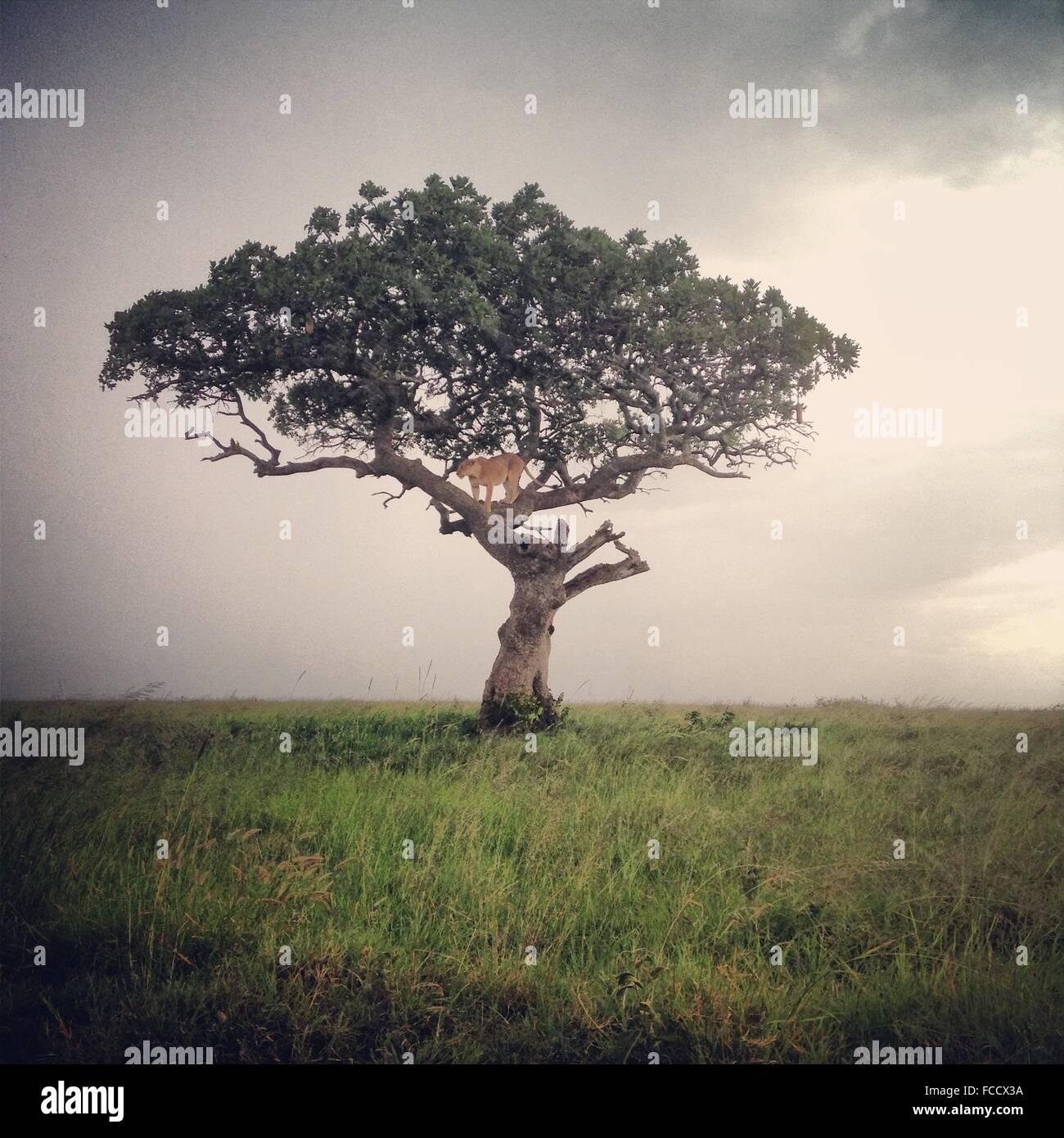 León de pie sobre un árbol Imagen De Stock