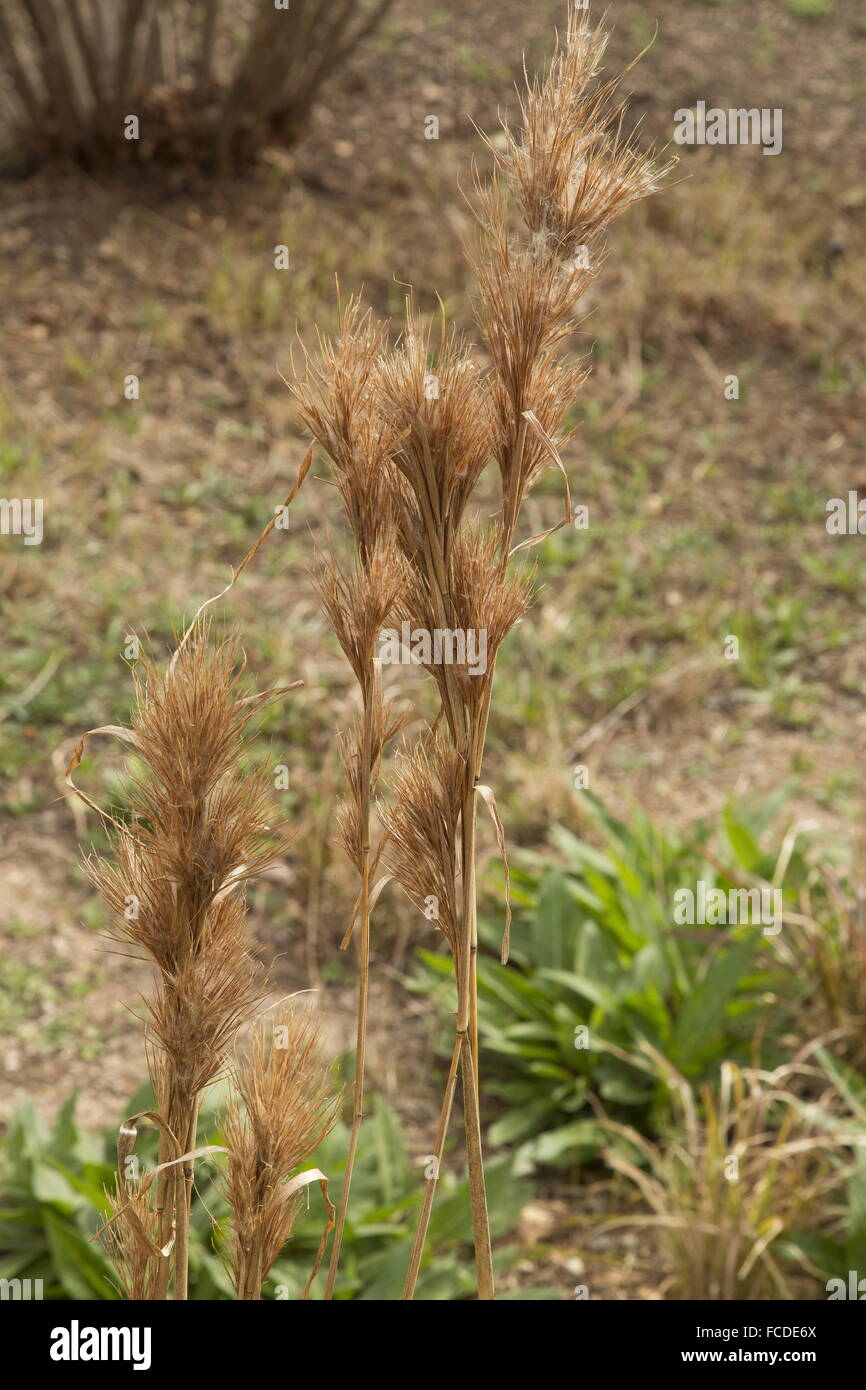 Bushy Bluestem, Andropogon glomeratus, pastos en invierno; Texas. Foto de stock