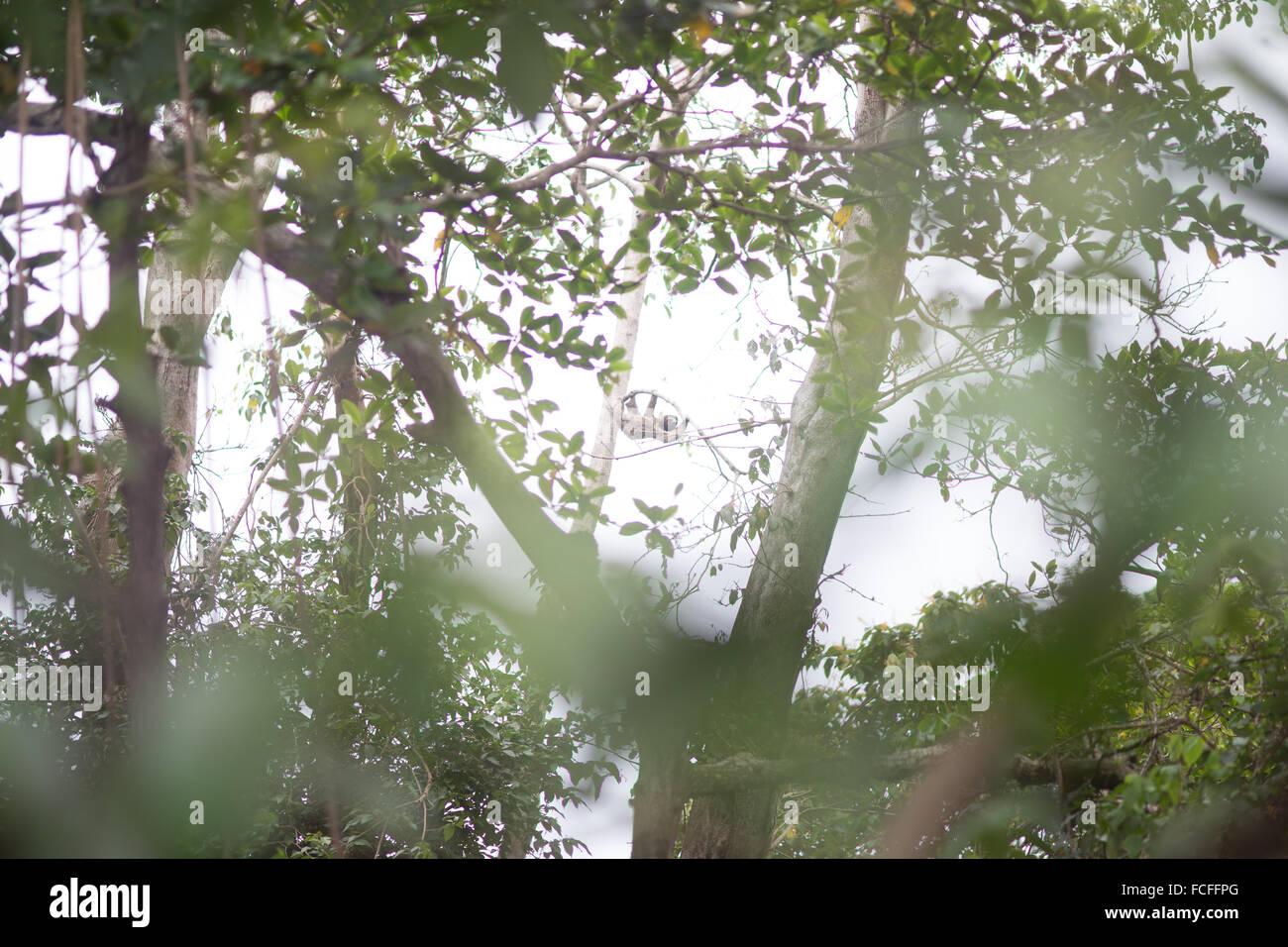 Ángulo de visión baja de Sloth Animal en el árbol en el bosque Foto de stock