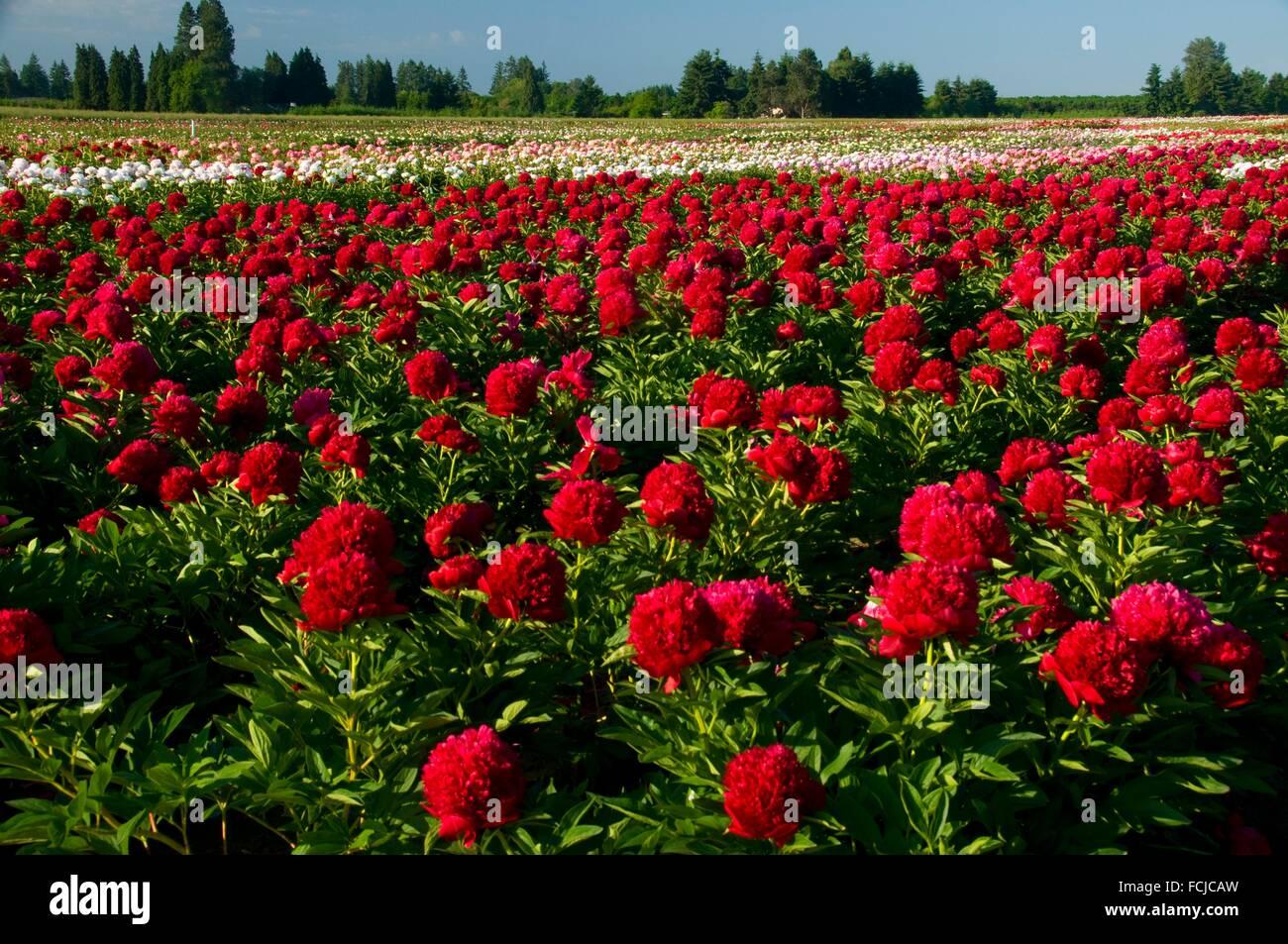 Encanto rojo peony, Adelman Peony Garden, Brooks, Oregon. Foto de stock
