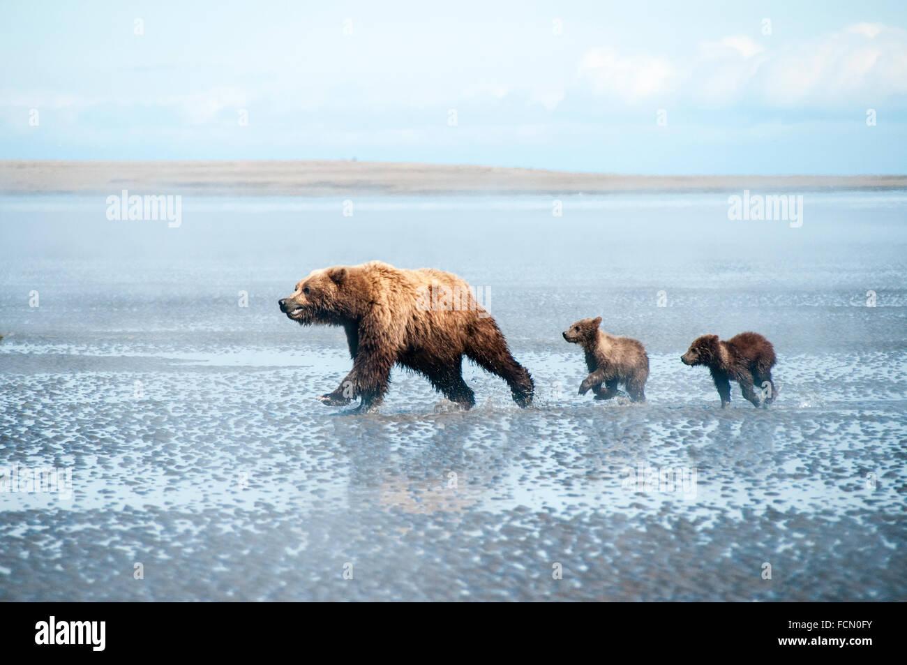 Tres Osos Grizzly Ursus arctos, madre y dos cachorros de primavera, corriendo a través de la pleamar del Cook Inlet, Alaska, EE.UU. Foto de stock