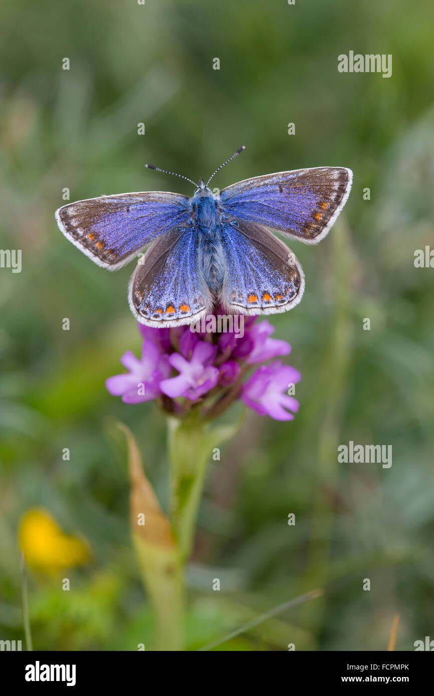 Mariposa Azul común; Polyommatus icarus mujeres solteras en Anglesey Orquídea piramidal; UK Imagen De Stock