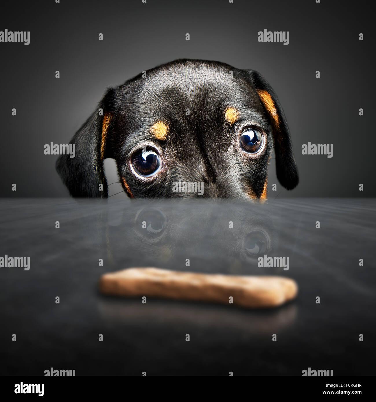 Teckel cachorro mirando a tratar (fuera del alcance) sobre una tabla Imagen De Stock