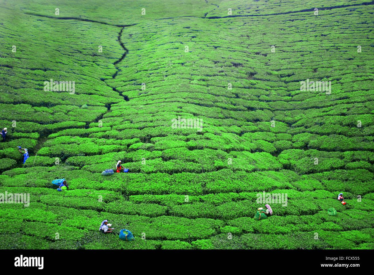Trabajar en las plantaciones de té en ella, Sri Lanka Imagen De Stock