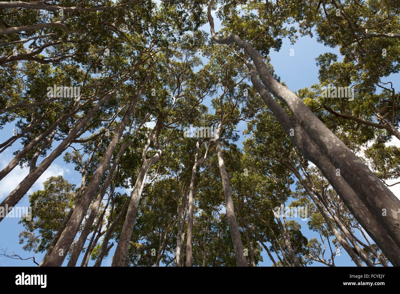 Árboles de eucalipto en Nueva Gales del Sur, Australia Imagen De Stock