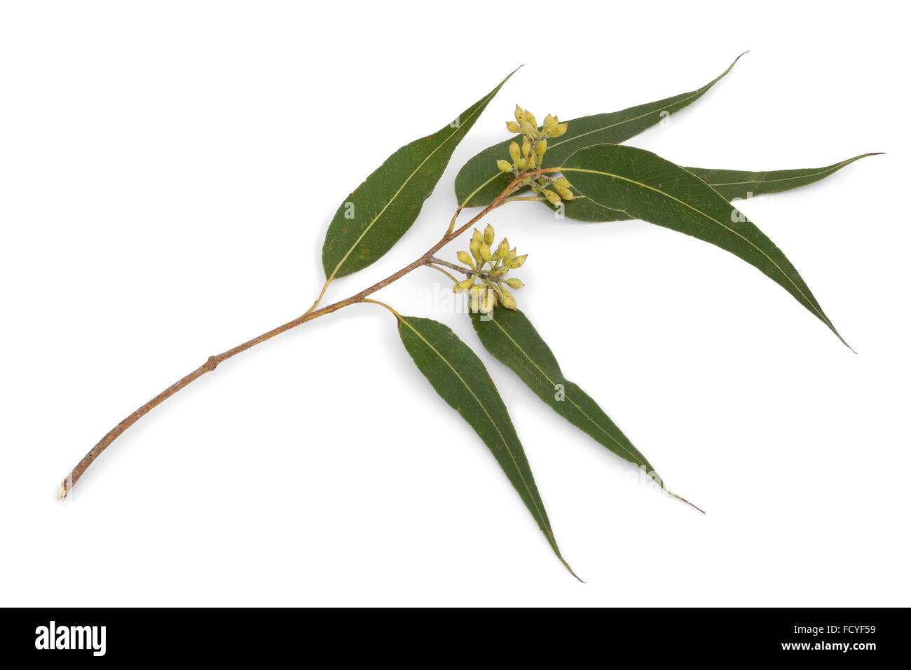 Rama de eucalipto y hojas sobre fondo blanco. Imagen De Stock