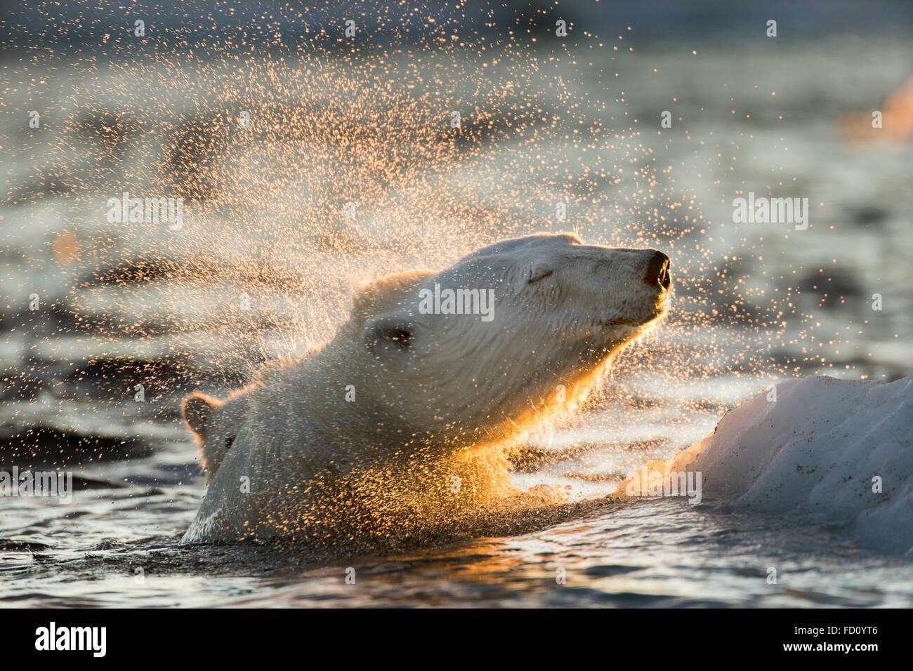 Canadá, Territorio de Nunavut, Bahía Repulse, el oso polar (Ursus maritimus) sacude el agua desde el barco mientras nadan en el mar de hielo cerca de H Foto de stock