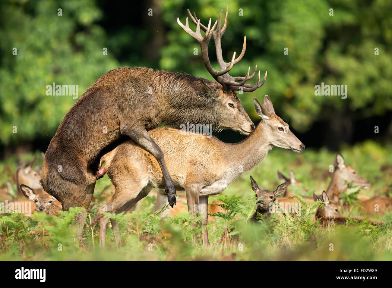 Ciervo rojo (Cervus elaphus) durante la temporada de apareamiento de celo Imagen De Stock