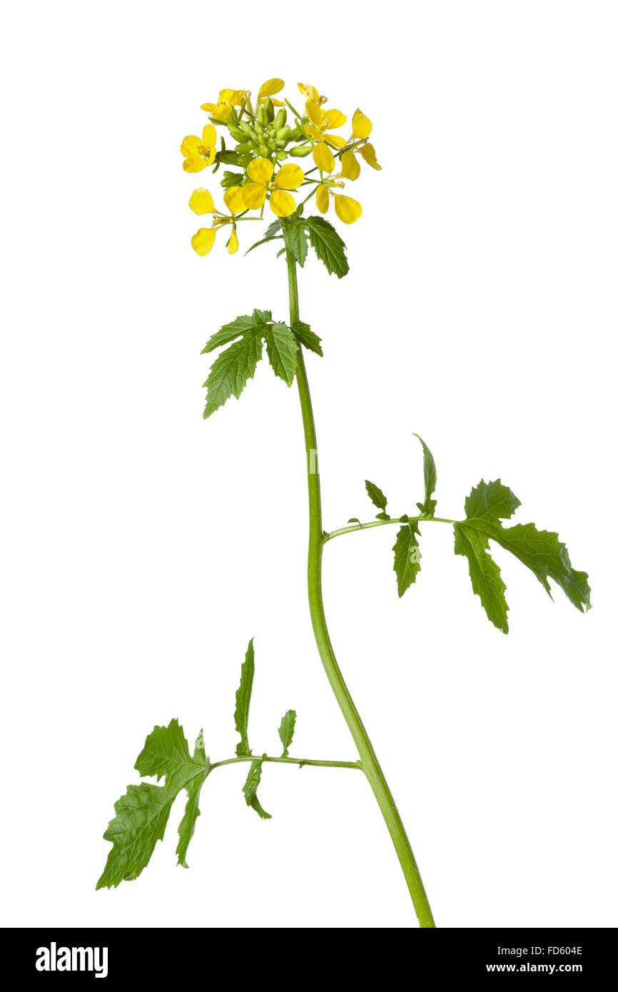 Planta de mostaza blanca sobre fondo blanco. Foto de stock