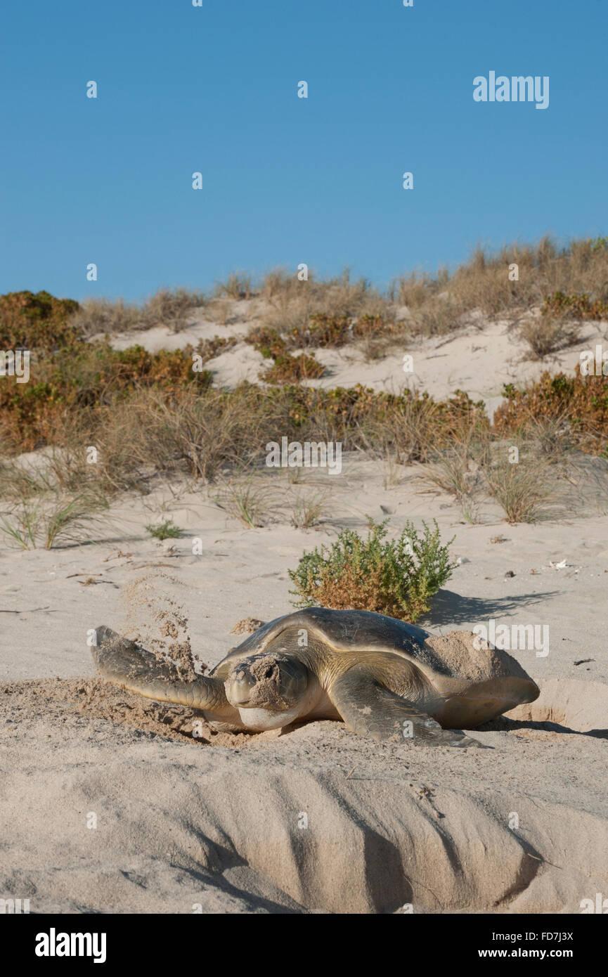 Tortugas marinas flatback australiano (Natator depressus) endémico, hembra cubriendo nido, Australia Occidental Foto de stock