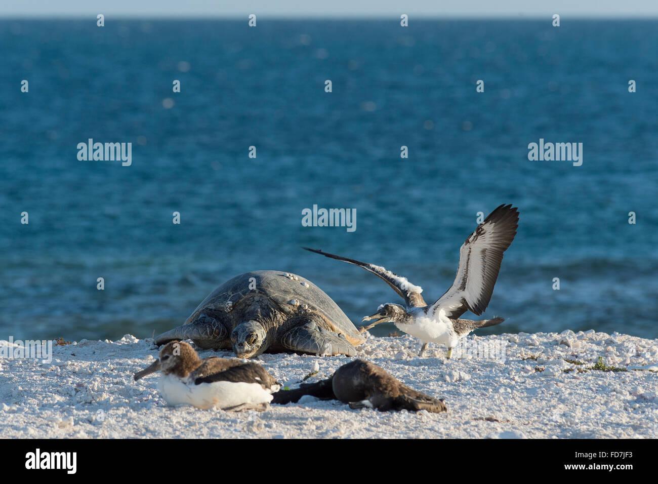 Una curiosa cabritos bobo castaño, Sula leucogaster, investiga una tortuga de mar verde, Chelonia mydas, la Fragata Francesa Shoals, Hawai Foto de stock