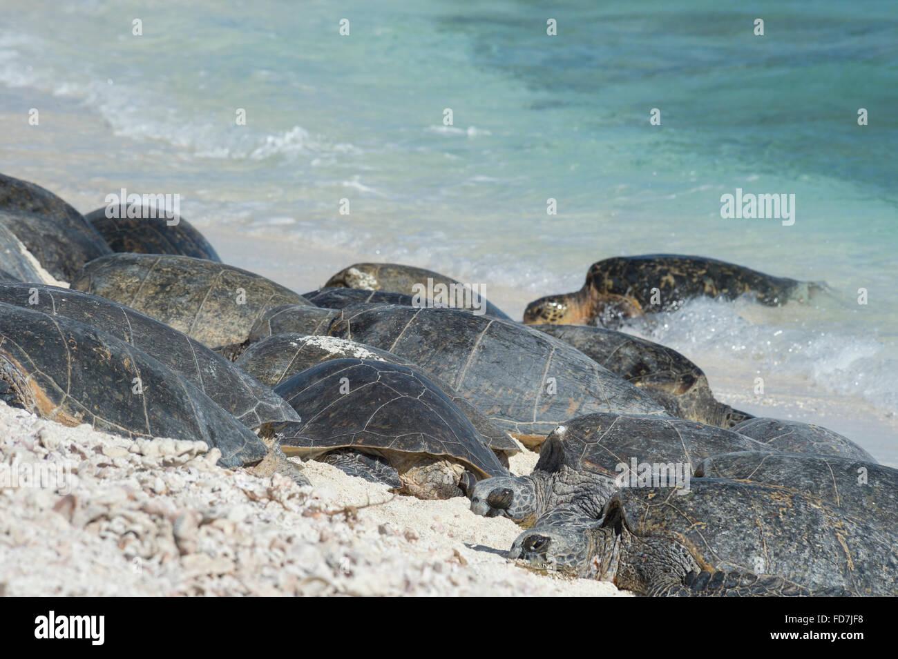 Tortugas marinas verdes, especies amenazadas ( Chelonia mydas ), tomar sol en la playa, una fragata francesa Shoals, en las Islas Hawaianas del Noroeste Foto de stock