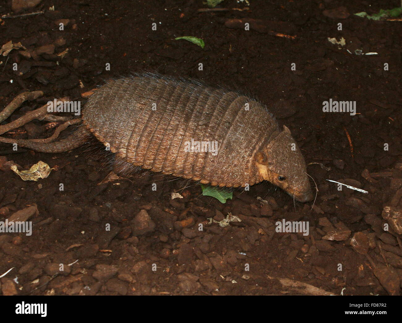 Grandes sudamericanos armadillo peludo (Chaetophractus villosus) explorar Imagen De Stock