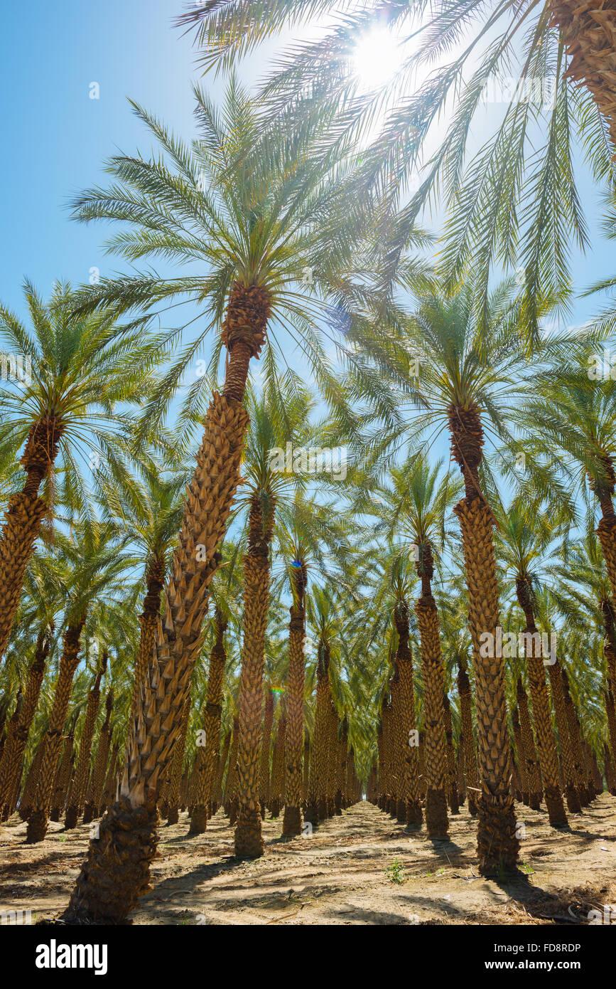 Una palmera granja en el Condado de Imperial, California Foto de stock