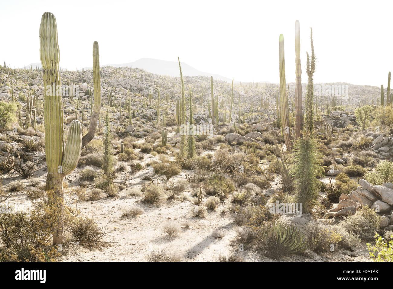 Los cactus en el desierto de Baja California, México Imagen De Stock