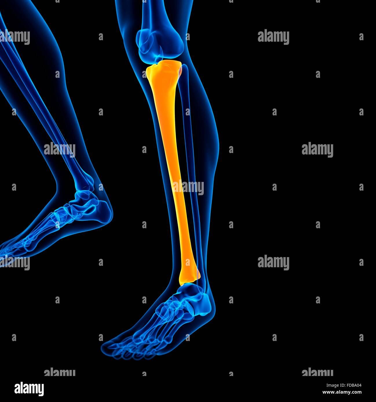 Humano el hueso inferior de la pierna (tibia), ilustración Foto ...