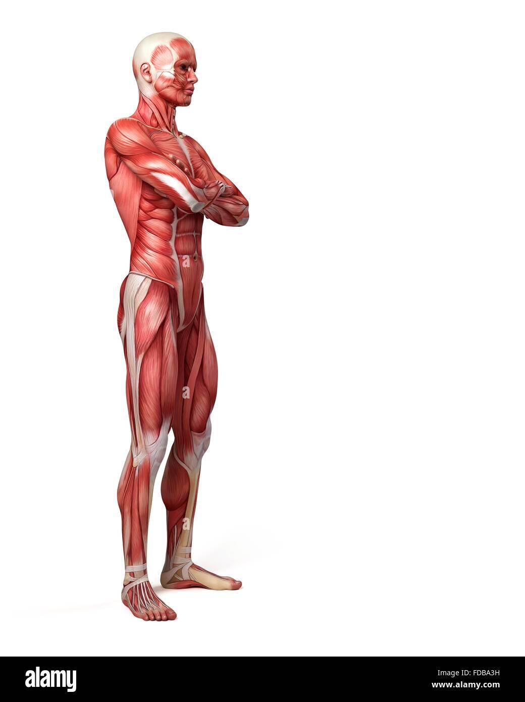 Excelente Anatomía Y Fisiología Capítulo 10 Sistema Muscular Bandera ...